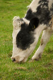 Cow Chewing Grass. Close-up of Cow in Pasture Eating Grass Stock Image