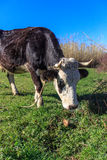 Cow. Chewing grass in a meadow Royalty Free Stock Images