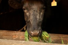 The cow is chewing greens Stock Photography