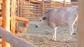 Cow chewing hay. stock footage