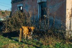 Cow is chewing plastic bag in the junk on abandoned house background royalty free stock images