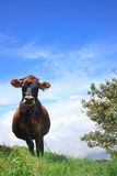 Cow chewing twigs on mountain above the clouds Stock Photos