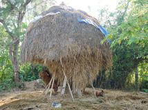Cow and chicken under a big straw hay tree Stock Photo