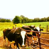 Cow Chow Line. Cows waiting to go to dinner on a Lancaster Farm Royalty Free Stock Photos
