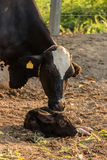 Cow cleaning and cared for protected her newborn Royalty Free Stock Photo