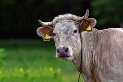 Cow in a clearing Royalty Free Stock Images