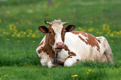 Cow in a clearing Royalty Free Stock Image