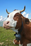 Cow close-up. Wide angle view of a cow with the typical cowbell. Photo taken at Mannlichen/Grindelwald, Switzerland Royalty Free Stock Image