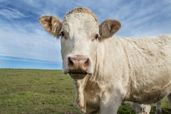 Cow close up Stock Images