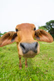 Cow. Close up of a brown bovine snout Stock Photography