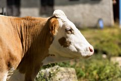 Head of a white and brown cow. Cow - close up of a head of brown and white heifer without horns Stock Image
