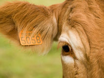 Cow  close-up portrait. Close-up of cow with number marks on ear Stock Images