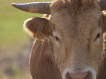 COW CLOSE UP royalty free stock photos