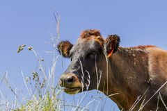 Cow close up in a sunny day stock images
