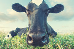 Cow close up. Close up wide angle view of a black and white cow lying in grass Royalty Free Stock Photos