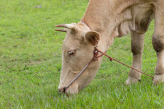 Cow. Closed up, cow eating  fresh green field Royalty Free Stock Images