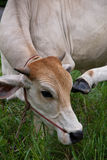 Cow. Closed up face cow it eating grass royalty free stock photography
