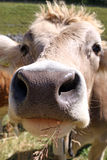 Cow Closeup Royalty Free Stock Photography