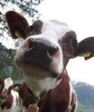 Cow closeup. Extreme closeup of the face of a cow in an outdoor setting Royalty Free Stock Image