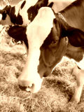 Cow closeup. A closeup of a dairy cow eating hay in the barn - sepia tone Royalty Free Stock Images