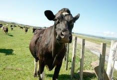 Cow closeup. Royalty Free Stock Photos