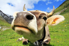 The cow Stock Image