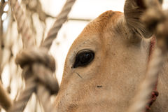 Cow closeup on the face Royalty Free Stock Photo
