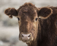 Cow. Closeup headshot of brown cow in field Stock Image