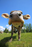 Cow Closeup Royalty Free Stock Photo