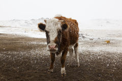 Cow closeup Mongolia Royalty Free Stock Images