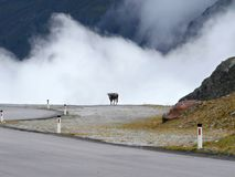 Cow with clouds. The cow on the mountain road with clouds Royalty Free Stock Photos