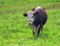 Cow in the clover field Stock Photos