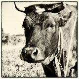 Cow with clover in mouth stock photo