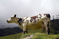Cow in Cocora valley, Cordiliera Central, Salento, Colombia. The Cocora valley - Valle de Cocora in spanish - is a valley in the department of Quindío in the royalty free stock image