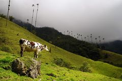 Cow in Cocora valley, Cordiliera Central, Salento, Colombia. The Cocora valley - Valle de Cocora in spanish - is a valley in the department of Quindío in the royalty free stock photo