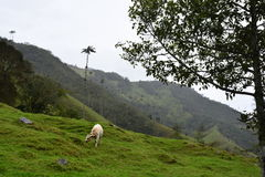 Cow in the Cocora Valley, near to the colonial town of Salento, in Colombia. The Cocora Valley, a beautiful national park in the Eje Cafetero, an UNESCO Heritage stock images