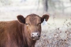 Cow with confused facial expression Royalty Free Stock Photos