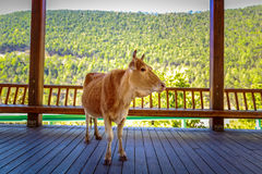 Cow in Cool Shade Royalty Free Stock Images