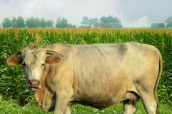 Cow in corn field Stock Image