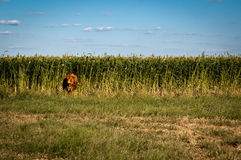 Cow in the Corn Fields Stock Photography