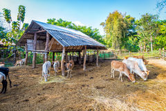 Cow in corral fence wood. Livestock in thailand cow eating straw in corral fence wood Royalty Free Stock Image