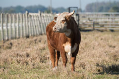 Cow in corral. Front view Stock Photo