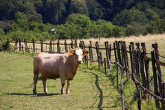 Cow in the corral. Livestock farming on a rural farm Royalty Free Stock Photo