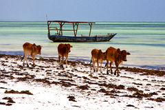 Cow costline boat pirague in the  blue lagoon relax  of zanzibar Royalty Free Stock Photo