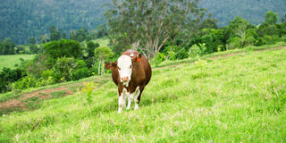 Cow in the country Stock Photos