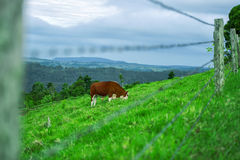 Cow in the country Royalty Free Stock Image