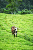 Cow in the country Stock Photo