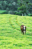 Cow in the country Stock Image