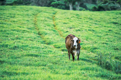 Cow in the country Royalty Free Stock Photography