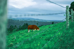 Cow in the country Royalty Free Stock Photos